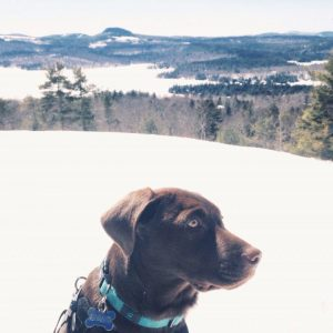 chocolate lab in snow