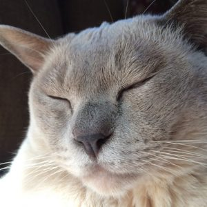 sleepy siamese